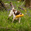 WGDS Working Test Brockhill Spaniels April 2018-208