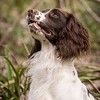 WGDS Working Test Brockhill Spaniels April 2018-166