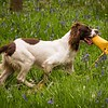 WGDS Working Test Brockhill Spaniels April 2018-212