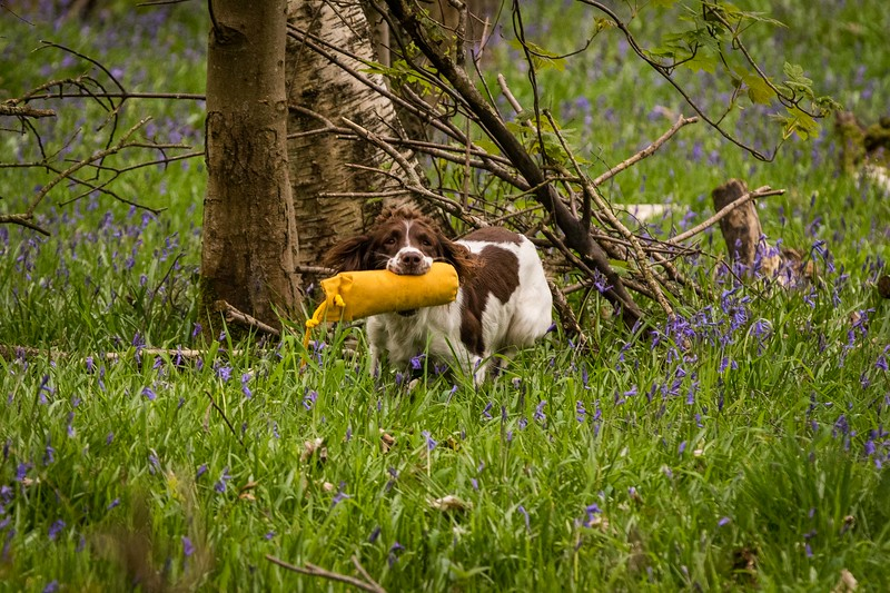WGDS Working Test Brockhill Spaniels April 2018-207