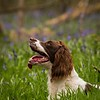 WGDS Working Test Brockhill Spaniels April 2018-213
