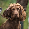WGDS Spaniel Training Long Itchington 7D-6