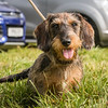 Mags the 1 year old Miniature Wire Haired Dachshund