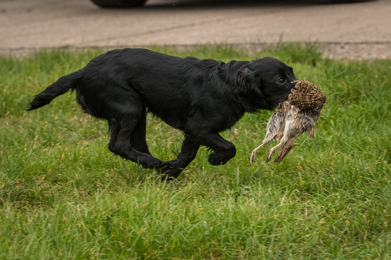 Hampshire Gundog Society Open Cocker Spaniel FT Kenilworth-280