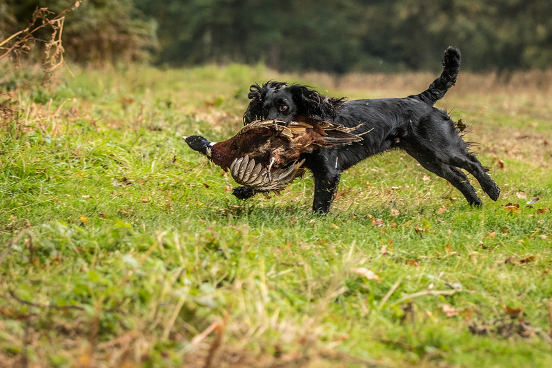 Hampshire Gundog Society Open Cocker Spaniel FT Kenilworth-109