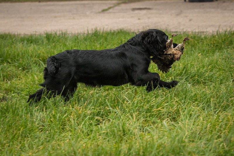 Hampshire Gundog Society Open Cocker Spaniel FT Kenilworth-288