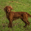 Hampshire Gundog Society Open Cocker Spaniel FT Kenilworth-58