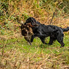 Hampshire Gundog Society Open Cocker Spaniel FT Kenilworth-111