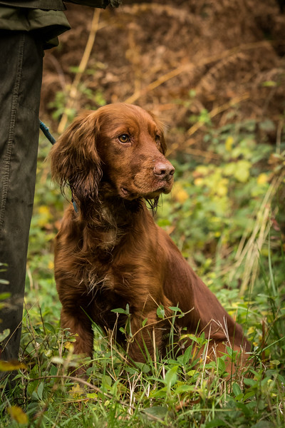 Hampshire Gundog Society Open Cocker Spaniel FT Kenilworth-223