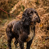 Hampshire Gundog Society Open Cocker Spaniel FT Kenilworth-254