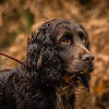 Hampshire Gundog Society Open Cocker Spaniel FT Kenilworth-255