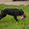 Hampshire Gundog Society Open Cocker Spaniel FT Kenilworth-278