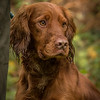 Hampshire Gundog Society Open Cocker Spaniel FT Kenilworth-221