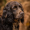 Hampshire Gundog Society Open Cocker Spaniel FT Kenilworth-256