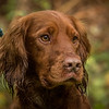 Hampshire Gundog Society Open Cocker Spaniel FT Kenilworth-222