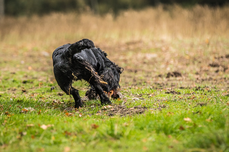 Hampshire Gundog Society Open Cocker Spaniel FT Kenilworth-106