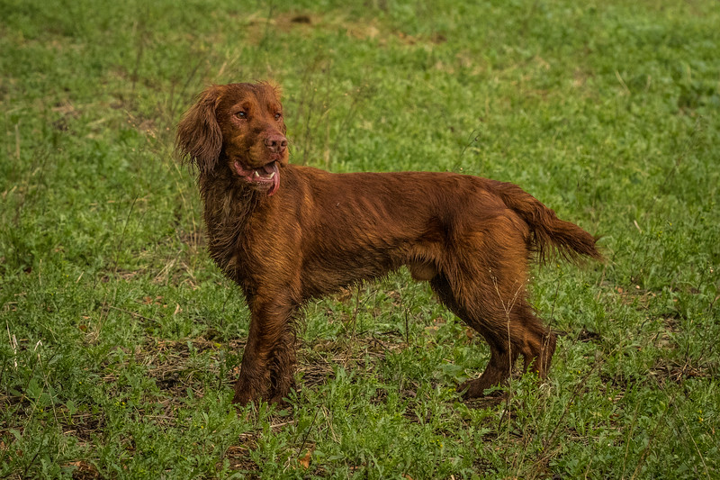 Hampshire Gundog Society Open Cocker Spaniel FT Kenilworth-56