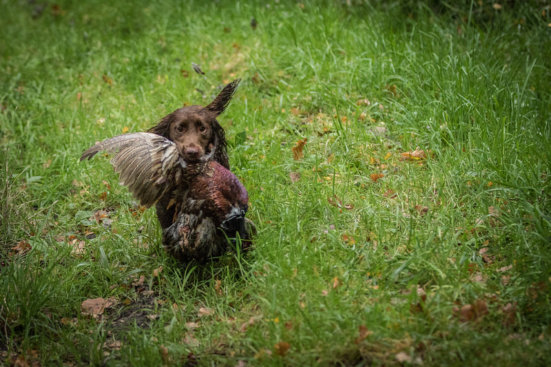 Hampshire Gundog Society Open Cocker Spaniel FT Kenilworth-190