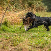 Hampshire Gundog Society Open Cocker Spaniel FT Kenilworth-110