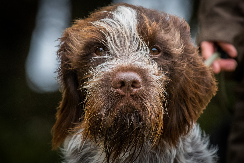 Cotswold Gundogs Peg dog Training Day-27