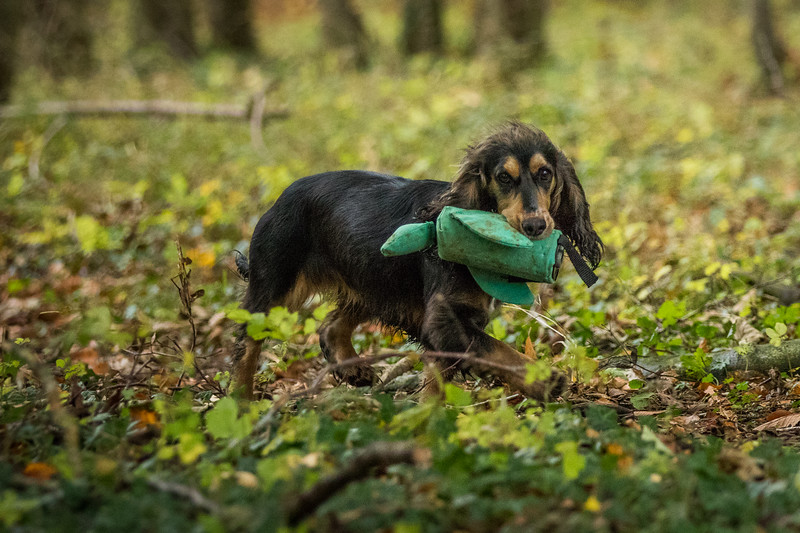 Cotswold Gundogs Peg dog Training Day-22