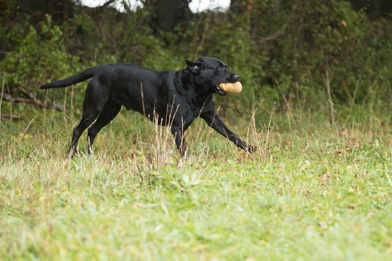 Cotswold Gundogs Peg dog Training Day-130