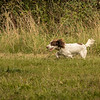 Cotswold Gundog Hunting Skills Training Day 7D-239