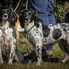Cotswold Gundog Hunting Skills Training Day 7D-11
