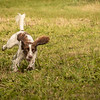 Cotswold Gundog Hunting Skills Training Day 7D-242