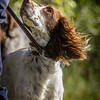 Cotswold Gundog Hunting Skills Training Day 7D-99