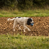 Cotswold Gundog Hunting Skills Training Day 7D-274