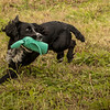 Cotswold Gundog Hunting Skills Training Day 7D-252