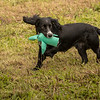 Cotswold Gundog Hunting Skills Training Day 7D-251