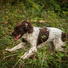 Cotswold Gundog Hunting Skills Training Day 7D-174