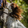 Cotswold Gundog Hunting Skills Training Day 7D-103