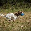 Cotswold Gundog Hunting Skills Training Day 7D-64