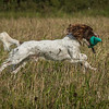 Cotswold Gundog Hunting Skills Training Day 7D-72