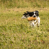 Cotswold Gundog Hunting Skills Training Day 7D-236