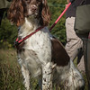 Cotswold Gundog Hunting Skills Training Day 7D-20
