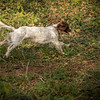 Cotswold Gundog Hunting Skills Training Day 7D-192
