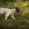 Cotswold Gundog Hunting Skills Training Day 7D-191