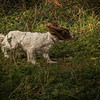 Cotswold Gundog Hunting Skills Training Day 7D-189