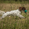 Cotswold Gundog Hunting Skills Training Day 7D-71