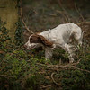 Cotswold Gundog Hunting Skills Training Day 7D-194