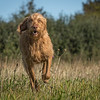 Cotswold Gundog Hunting Skills Training Day 7D-39