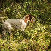 Cotswold Gundog Hunting Skills Training Day 7D-186