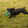 Cotswold Gundog Hunting Skills Training Day 7D-249