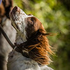 Cotswold Gundog Hunting Skills Training Day 7D-104