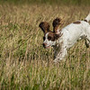 Cotswold Gundog Hunting Skills Training Day 7D-66