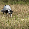 Cotswold Gundog Hunting Skills Training Day 7D-52